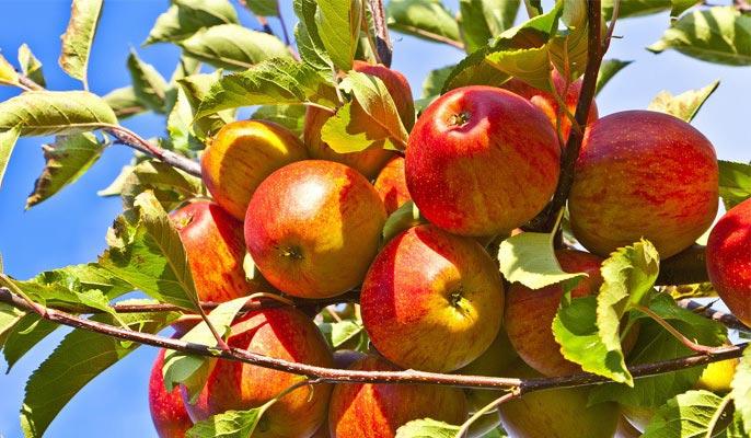 Можно ли отравиться яблоками