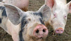 Отравление у свиней