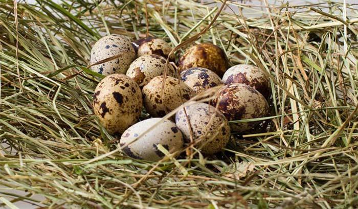 Есть ли холестерин в перепелиных яйцах