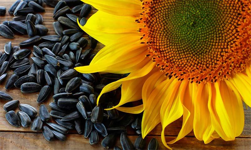 Можно ли есть семечки при повышенном холестерине