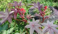 Ядовитое растение клещевина