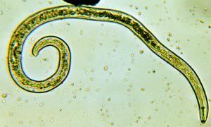 Глист под микроскопом