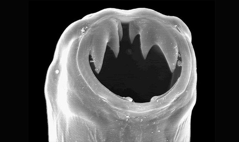 Рот кривоголовки